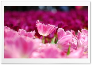Pink Tulips HD Wide Wallpaper for Widescreen