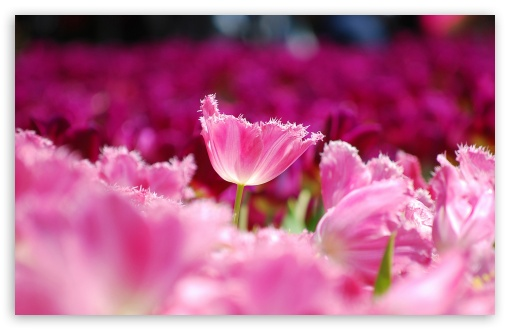 Pink Tulips HD wallpaper for Wide 16:10 5:3 Widescreen WHXGA WQXGA WUXGA WXGA WGA ; HD 16:9 High Definition WQHD QWXGA 1080p 900p 720p QHD nHD ; Standard 4:3 5:4 3:2 Fullscreen UXGA XGA SVGA QSXGA SXGA DVGA HVGA HQVGA devices ( Apple PowerBook G4 iPhone 4 3G 3GS iPod Touch ) ; Tablet 1:1 ; iPad 1/2/Mini ; Mobile 4:3 5:3 3:2 16:9 5:4 - UXGA XGA SVGA WGA DVGA HVGA HQVGA devices ( Apple PowerBook G4 iPhone 4 3G 3GS iPod Touch ) WQHD QWXGA 1080p 900p 720p QHD nHD QSXGA SXGA ;