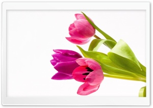 Pink Tulips Bouquet HD Wide Wallpaper for Widescreen