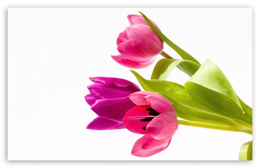Pink Tulips Bouquet HD wallpaper for Wide 16:10 5:3 Widescreen WHXGA WQXGA WUXGA WXGA WGA ; HD 16:9 High Definition WQHD QWXGA 1080p 900p 720p QHD nHD ; UHD 16:9 WQHD QWXGA 1080p 900p 720p QHD nHD ; Standard 4:3 5:4 3:2 Fullscreen UXGA XGA SVGA QSXGA SXGA DVGA HVGA HQVGA devices ( Apple PowerBook G4 iPhone 4 3G 3GS iPod Touch ) ; Smartphone 5:3 WGA ; Tablet 1:1 ; iPad 1/2/Mini ; Mobile 4:3 5:3 3:2 16:9 5:4 - UXGA XGA SVGA WGA DVGA HVGA HQVGA devices ( Apple PowerBook G4 iPhone 4 3G 3GS iPod Touch ) WQHD QWXGA 1080p 900p 720p QHD nHD QSXGA SXGA ; Dual 16:10 5:3 16:9 4:3 WHXGA WQXGA WUXGA WXGA WGA WQHD QWXGA 1080p 900p 720p QHD nHD UXGA XGA SVGA ;
