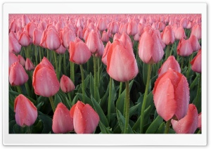 Pink Tulips Cultivation HD Wide Wallpaper for Widescreen