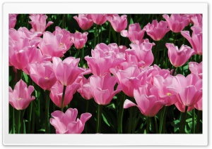 Pink Tulips Field HD Wide Wallpaper for Widescreen