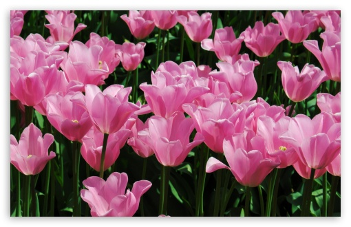 Pink Tulips Field HD wallpaper for Wide 16:10 5:3 Widescreen WHXGA WQXGA WUXGA WXGA WGA ; HD 16:9 High Definition WQHD QWXGA 1080p 900p 720p QHD nHD ; Standard 4:3 5:4 3:2 Fullscreen UXGA XGA SVGA QSXGA SXGA DVGA HVGA HQVGA devices ( Apple PowerBook G4 iPhone 4 3G 3GS iPod Touch ) ; Smartphone 5:3 WGA ; Tablet 1:1 ; iPad 1/2/Mini ; Mobile 4:3 5:3 3:2 16:9 5:4 - UXGA XGA SVGA WGA DVGA HVGA HQVGA devices ( Apple PowerBook G4 iPhone 4 3G 3GS iPod Touch ) WQHD QWXGA 1080p 900p 720p QHD nHD QSXGA SXGA ; Dual 16:10 5:3 4:3 5:4 WHXGA WQXGA WUXGA WXGA WGA UXGA XGA SVGA QSXGA SXGA ;