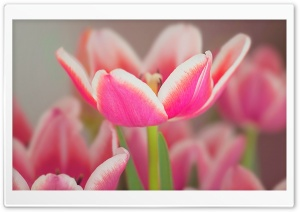 Pink Tulips Flowers HD Wide Wallpaper for Widescreen