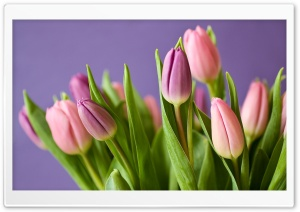 Pink Tulips Spring HD Wide Wallpaper for Widescreen