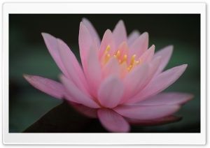 Pink Water Lily HD Wide Wallpaper for Widescreen
