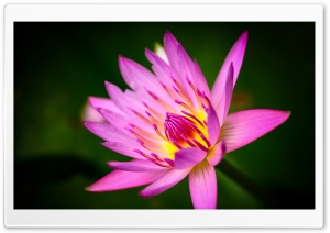 Pink Water Lily Ultra HD Wallpaper for 4K UHD Widescreen desktop, tablet & smartphone