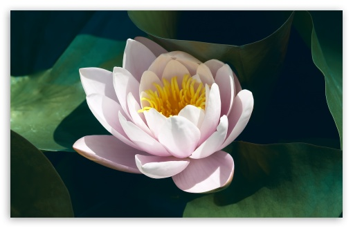 Pink Water Lily ❤ 4K UHD Wallpaper for Wide 16:10 5:3 Widescreen WHXGA WQXGA WUXGA WXGA WGA ; 4K UHD 16:9 Ultra High Definition 2160p 1440p 1080p 900p 720p ; Standard 4:3 5:4 3:2 Fullscreen UXGA XGA SVGA QSXGA SXGA DVGA HVGA HQVGA ( Apple PowerBook G4 iPhone 4 3G 3GS iPod Touch ) ; Tablet 1:1 ; iPad 1/2/Mini ; Mobile 4:3 5:3 3:2 16:9 5:4 - UXGA XGA SVGA WGA DVGA HVGA HQVGA ( Apple PowerBook G4 iPhone 4 3G 3GS iPod Touch ) 2160p 1440p 1080p 900p 720p QSXGA SXGA ;
