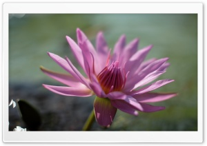 Pink Water Lily Flower HD Wide Wallpaper for Widescreen