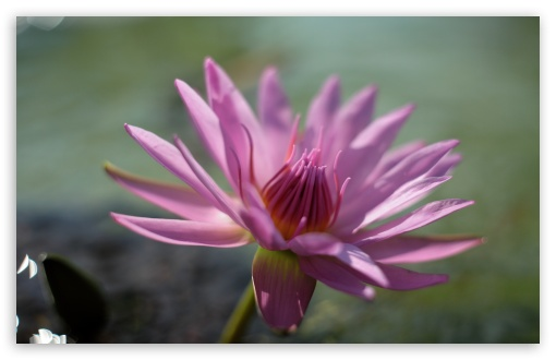 Pink Water Lily Flower UltraHD Wallpaper for Wide 16:10 5:3 Widescreen WHXGA WQXGA WUXGA WXGA WGA ; 8K UHD TV 16:9 Ultra High Definition 2160p 1440p 1080p 900p 720p ; UHD 16:9 2160p 1440p 1080p 900p 720p ; Standard 4:3 5:4 3:2 Fullscreen UXGA XGA SVGA QSXGA SXGA DVGA HVGA HQVGA ( Apple PowerBook G4 iPhone 4 3G 3GS iPod Touch ) ; Smartphone 5:3 WGA ; Tablet 1:1 ; iPad 1/2/Mini ; Mobile 4:3 5:3 3:2 16:9 5:4 - UXGA XGA SVGA WGA DVGA HVGA HQVGA ( Apple PowerBook G4 iPhone 4 3G 3GS iPod Touch ) 2160p 1440p 1080p 900p 720p QSXGA SXGA ;