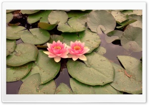 Pink Waterlilies HD Wide Wallpaper for Widescreen