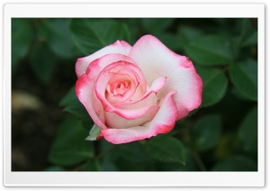 Pink White Rose HD Wide Wallpaper for Widescreen