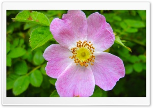 Pink Wild Rose HD Wide Wallpaper for Widescreen