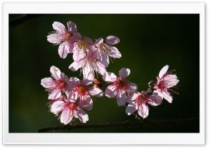 Pinky pinky Wild Himalayan Cherry HD Wide Wallpaper for Widescreen