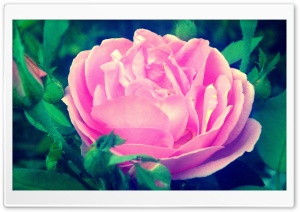Pinky Rose HD Wide Wallpaper for Widescreen