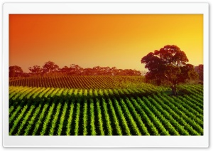 Plantation At Sunset HD Wide Wallpaper for Widescreen