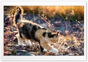 Playful Calico Kitten HD Wide Wallpaper for Widescreen