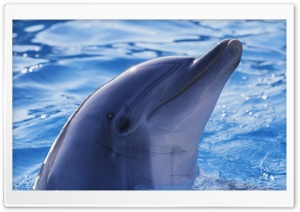 Playful Dolphin HD Wide Wallpaper for Widescreen