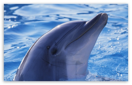 Playful Dolphin ❤ 4K UHD Wallpaper for Wide 16:10 5:3 Widescreen WHXGA WQXGA WUXGA WXGA WGA ; 4K UHD 16:9 Ultra High Definition 2160p 1440p 1080p 900p 720p ; Standard 4:3 5:4 3:2 Fullscreen UXGA XGA SVGA QSXGA SXGA DVGA HVGA HQVGA ( Apple PowerBook G4 iPhone 4 3G 3GS iPod Touch ) ; iPad 1/2/Mini ; Mobile 4:3 5:3 3:2 16:9 5:4 - UXGA XGA SVGA WGA DVGA HVGA HQVGA ( Apple PowerBook G4 iPhone 4 3G 3GS iPod Touch ) 2160p 1440p 1080p 900p 720p QSXGA SXGA ;