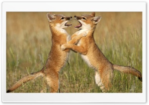 Playful Foxes HD Wide Wallpaper for Widescreen
