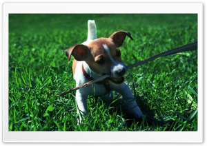 Playful Jack Russell Puppy HD Wide Wallpaper for 4K UHD Widescreen desktop & smartphone