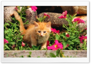 Playful Orange Kitten HD Wide Wallpaper for Widescreen