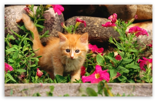 Playful Orange Kitten ❤ 4K UHD Wallpaper for Wide 16:10 5:3 Widescreen WHXGA WQXGA WUXGA WXGA WGA ; 4K UHD 16:9 Ultra High Definition 2160p 1440p 1080p 900p 720p ; Standard 4:3 5:4 3:2 Fullscreen UXGA XGA SVGA QSXGA SXGA DVGA HVGA HQVGA ( Apple PowerBook G4 iPhone 4 3G 3GS iPod Touch ) ; Tablet 1:1 ; iPad 1/2/Mini ; Mobile 4:3 5:3 3:2 16:9 5:4 - UXGA XGA SVGA WGA DVGA HVGA HQVGA ( Apple PowerBook G4 iPhone 4 3G 3GS iPod Touch ) 2160p 1440p 1080p 900p 720p QSXGA SXGA ;