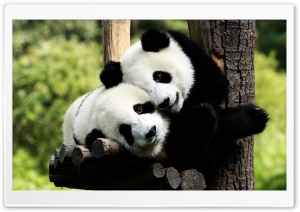 Playful Pandas HD Wide Wallpaper for 4K UHD Widescreen desktop & smartphone