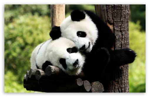 Playful Pandas HD wallpaper for Standard 4:3 5:4 Fullscreen UXGA XGA SVGA QSXGA SXGA ; Wide 16:10 5:3 Widescreen WHXGA WQXGA WUXGA WXGA WGA ; HD 16:9 High Definition WQHD QWXGA 1080p 900p 720p QHD nHD ; Other 3:2 DVGA HVGA HQVGA devices ( Apple PowerBook G4 iPhone 4 3G 3GS iPod Touch ) ; Mobile VGA WVGA iPhone iPad PSP Phone - VGA QVGA Smartphone ( PocketPC GPS iPod Zune BlackBerry HTC Samsung LG Nokia Eten Asus ) WVGA WQVGA Smartphone ( HTC Samsung Sony Ericsson LG Vertu MIO ) HVGA Smartphone ( Apple iPhone iPod BlackBerry HTC Samsung Nokia ) Sony PSP Zune HD Zen ;
