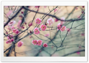 Plum Blossom Ultra HD Wallpaper for 4K UHD Widescreen desktop, tablet & smartphone