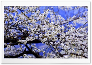 Plum Blossom HD Wide Wallpaper for Widescreen