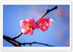 Plum Blossom Branch HD Wide Wallpaper for Widescreen