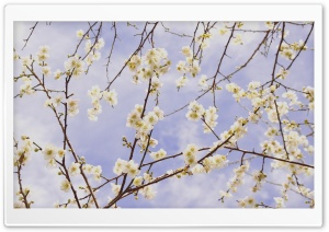 Plum Blossom Branches HD Wide Wallpaper for Widescreen