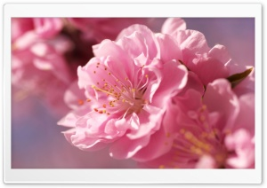 Plum Blossom Macro HD Wide Wallpaper for 4K UHD Widescreen desktop & smartphone