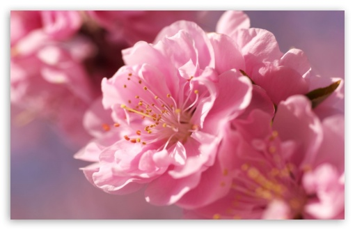 Plum Blossom Macro HD wallpaper for Wide 16:10 5:3 Widescreen WHXGA WQXGA WUXGA WXGA WGA ; HD 16:9 High Definition WQHD QWXGA 1080p 900p 720p QHD nHD ; Standard 4:3 5:4 3:2 Fullscreen UXGA XGA SVGA QSXGA SXGA DVGA HVGA HQVGA devices ( Apple PowerBook G4 iPhone 4 3G 3GS iPod Touch ) ; Tablet 1:1 ; iPad 1/2/Mini ; Mobile 4:3 5:3 3:2 16:9 5:4 - UXGA XGA SVGA WGA DVGA HVGA HQVGA devices ( Apple PowerBook G4 iPhone 4 3G 3GS iPod Touch ) WQHD QWXGA 1080p 900p 720p QHD nHD QSXGA SXGA ;