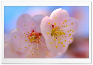 Plum Blossom Macro HD Wide Wallpaper for Widescreen
