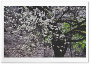 Plum Blossom Tree HD Wide Wallpaper for Widescreen