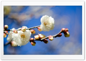 Plum Blossoms HD Wide Wallpaper for 4K UHD Widescreen desktop & smartphone