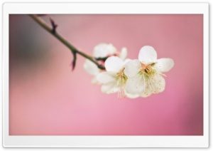Plum Blossoms HD Wide Wallpaper for Widescreen