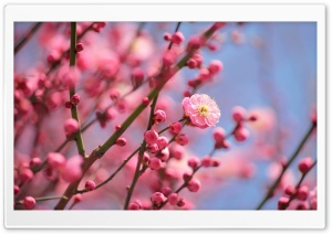 Plum Blossoms Blooming HD Wide Wallpaper for Widescreen