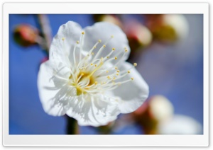 Plum Blossoms Macro HD Wide Wallpaper for Widescreen
