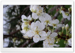 Plum Flowers HD Wide Wallpaper for Widescreen