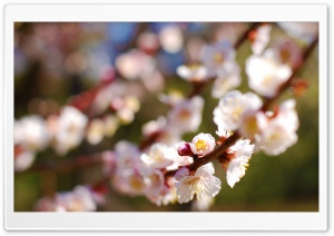 Plum Tree HD Wide Wallpaper for Widescreen