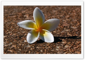 Plumeria HD Wide Wallpaper for Widescreen