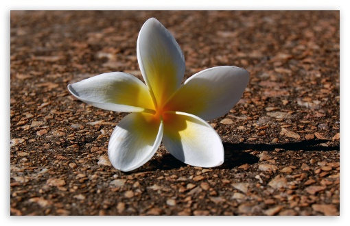 Plumeria HD wallpaper for Wide 16:10 5:3 Widescreen WHXGA WQXGA WUXGA WXGA WGA ; HD 16:9 High Definition WQHD QWXGA 1080p 900p 720p QHD nHD ; Standard 4:3 5:4 3:2 Fullscreen UXGA XGA SVGA QSXGA SXGA DVGA HVGA HQVGA devices ( Apple PowerBook G4 iPhone 4 3G 3GS iPod Touch ) ; Tablet 1:1 ; iPad 1/2/Mini ; Mobile 4:3 5:3 3:2 16:9 5:4 - UXGA XGA SVGA WGA DVGA HVGA HQVGA devices ( Apple PowerBook G4 iPhone 4 3G 3GS iPod Touch ) WQHD QWXGA 1080p 900p 720p QHD nHD QSXGA SXGA ;