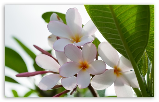 Plumeria Flowers HD wallpaper for Wide 16:10 5:3 Widescreen WHXGA WQXGA WUXGA WXGA WGA ; HD 16:9 High Definition WQHD QWXGA 1080p 900p 720p QHD nHD ; UHD 16:9 WQHD QWXGA 1080p 900p 720p QHD nHD ; Standard 4:3 5:4 3:2 Fullscreen UXGA XGA SVGA QSXGA SXGA DVGA HVGA HQVGA devices ( Apple PowerBook G4 iPhone 4 3G 3GS iPod Touch ) ; Tablet 1:1 ; iPad 1/2/Mini ; Mobile 4:3 5:3 3:2 16:9 5:4 - UXGA XGA SVGA WGA DVGA HVGA HQVGA devices ( Apple PowerBook G4 iPhone 4 3G 3GS iPod Touch ) WQHD QWXGA 1080p 900p 720p QHD nHD QSXGA SXGA ; Dual 4:3 5:4 UXGA XGA SVGA QSXGA SXGA ;