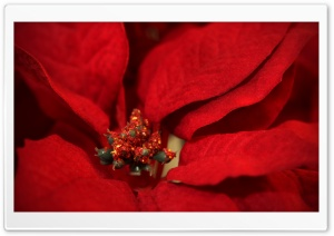 Poinsettia HD Wide Wallpaper for Widescreen