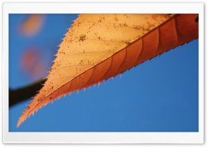 Pointy Leaf HD Wide Wallpaper for Widescreen