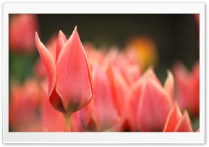 Pointy Tulip Bud HD Wide Wallpaper for Widescreen