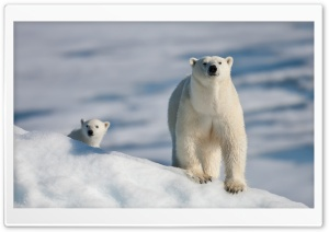 Polar Bear and Baby HD Wide Wallpaper for Widescreen